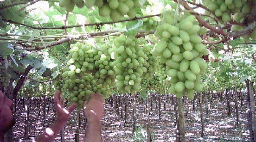 El empleo de complejantes y quelatos en la fertilización de micronutrientes